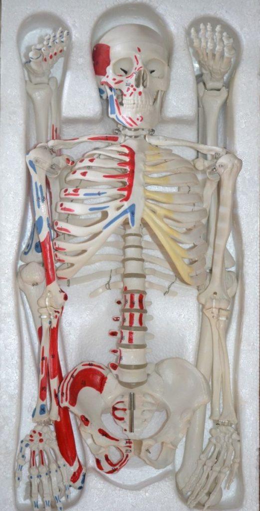 Cómo elegir y comprar esqueletos de anatomía – Salutatis Tienda de ...